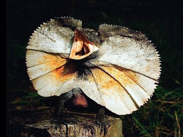 エリマキトカゲの画像 p1_34